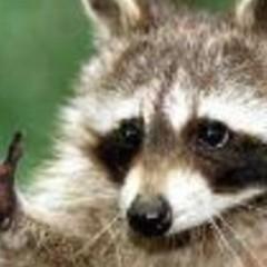 Santiago en los ojos de un mapache.